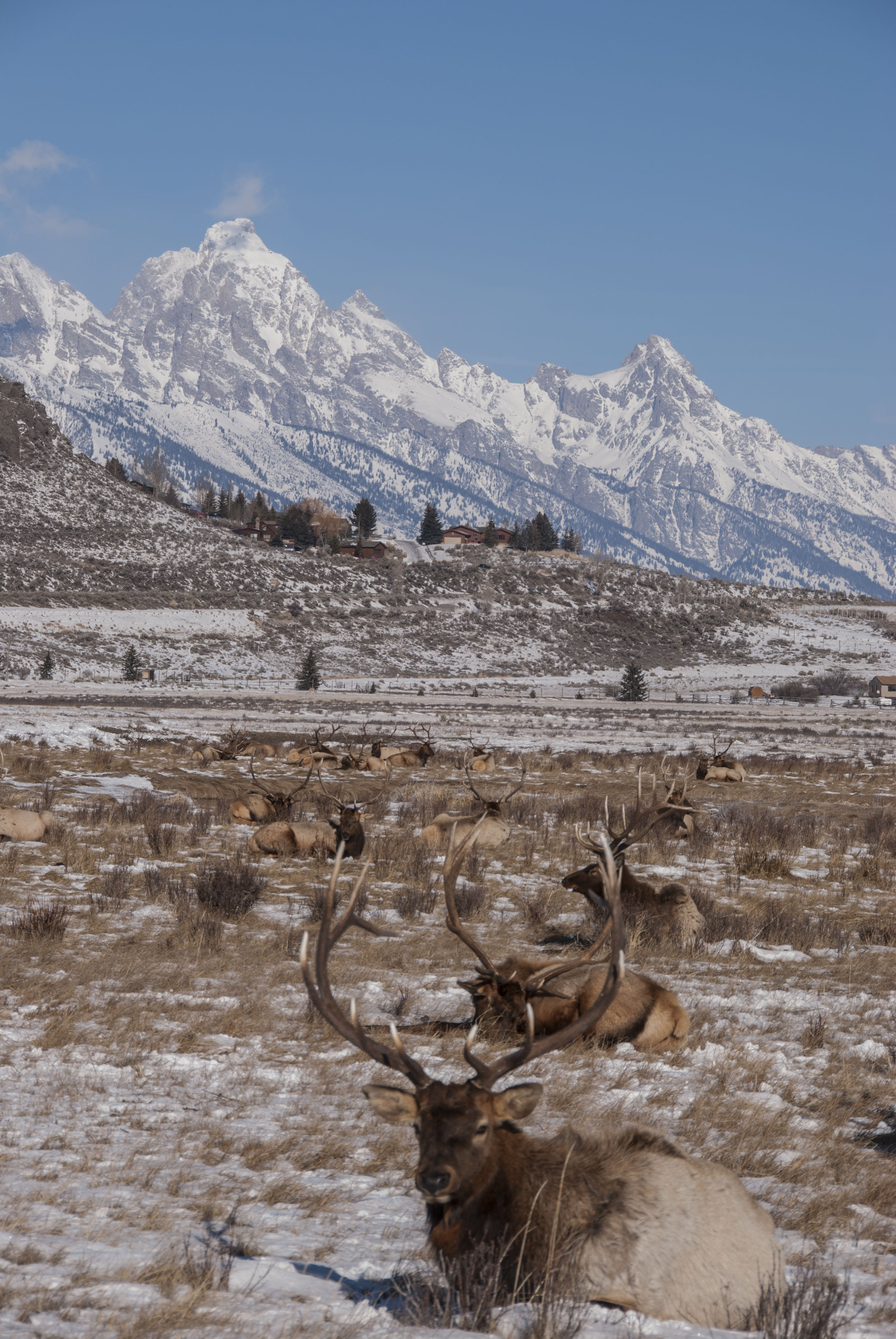 Wyoming national elk refuge sleigh rides day trips for Things to do in jackson wy