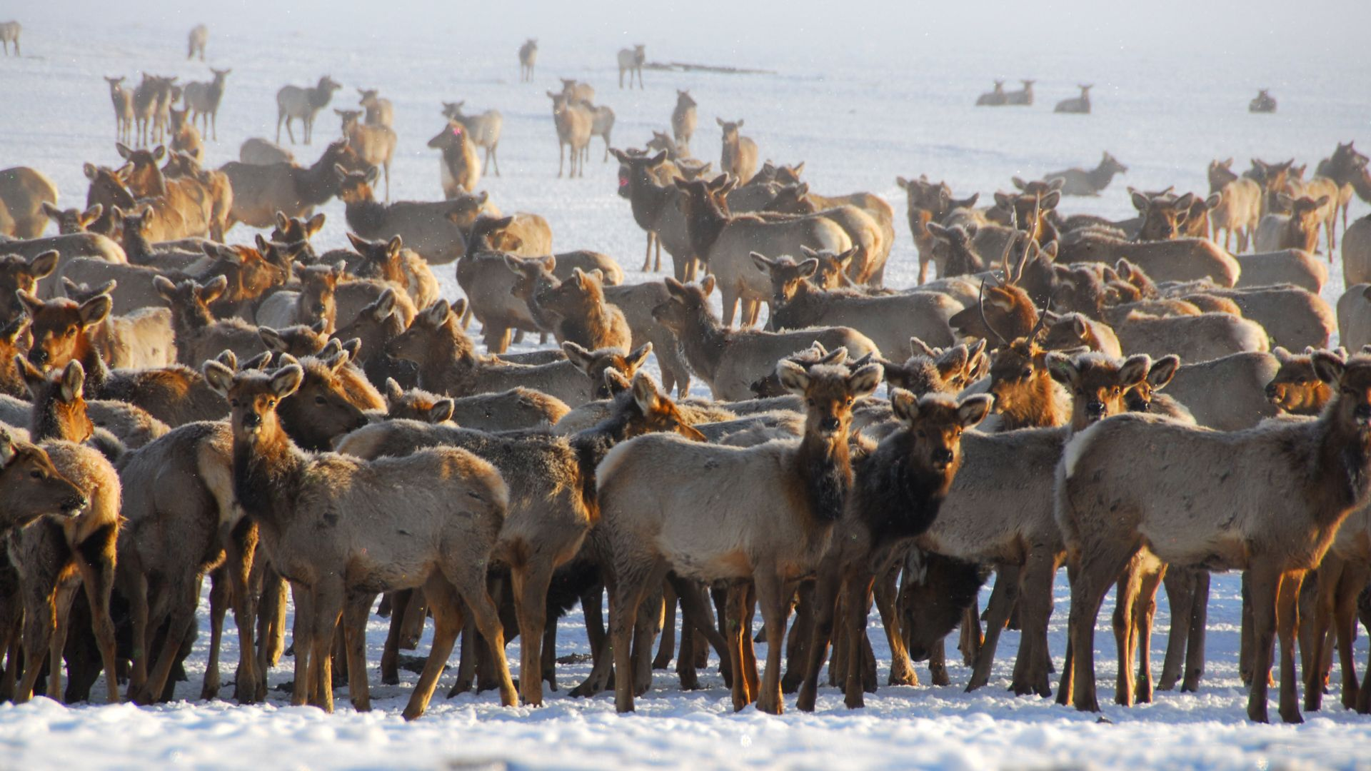 Thousands of elk flock to the low-lying meadows of the National Elk Refuge every winter.