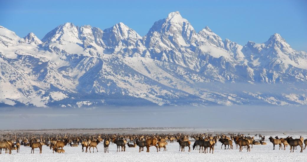 A majestic elk at the National Elk Refuge near Jackson Hole, Wyoming