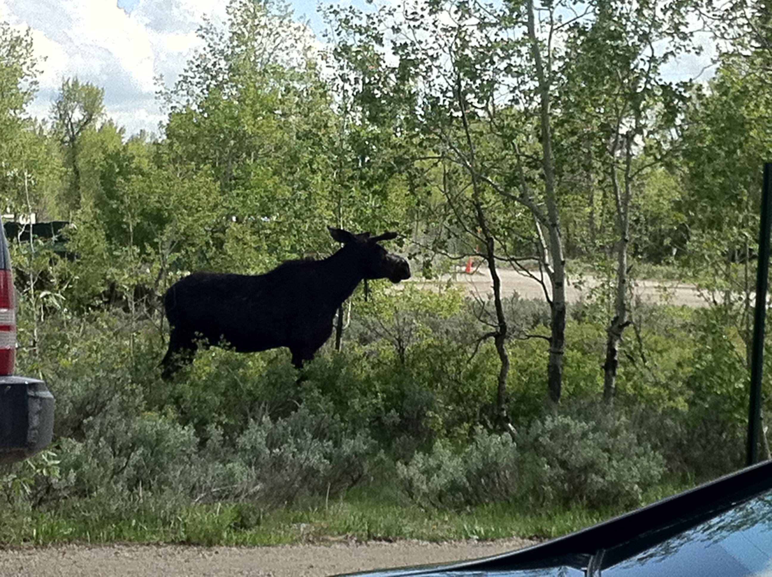 moose jackson wyoming