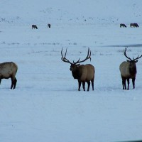 Big elk seen from sleigh