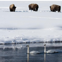 Winter wildlife, bison and swans