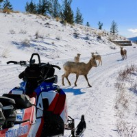 Gros Ventre Wildlife Snowmobile Tour