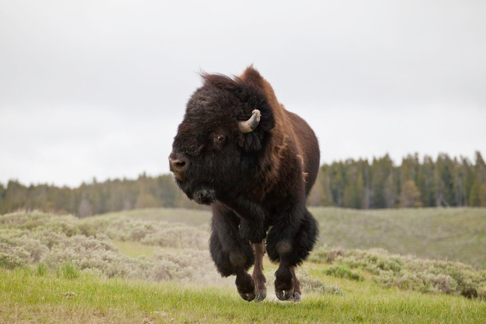 Field Notes: The Bison (Buffalo) of Yellowstone National Park ...