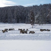 Gros Ventre Day Tour - elk - wildlife view