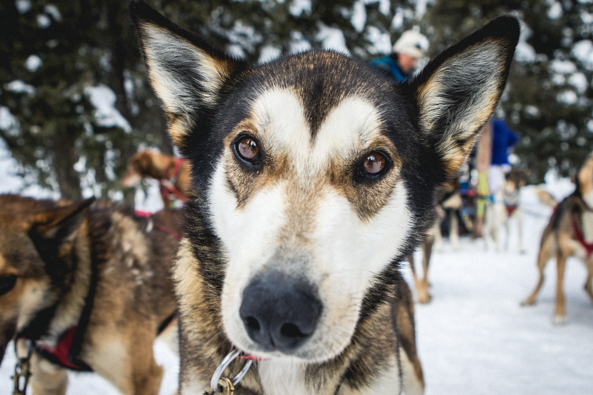 close up of Wyoming sled dog's face
