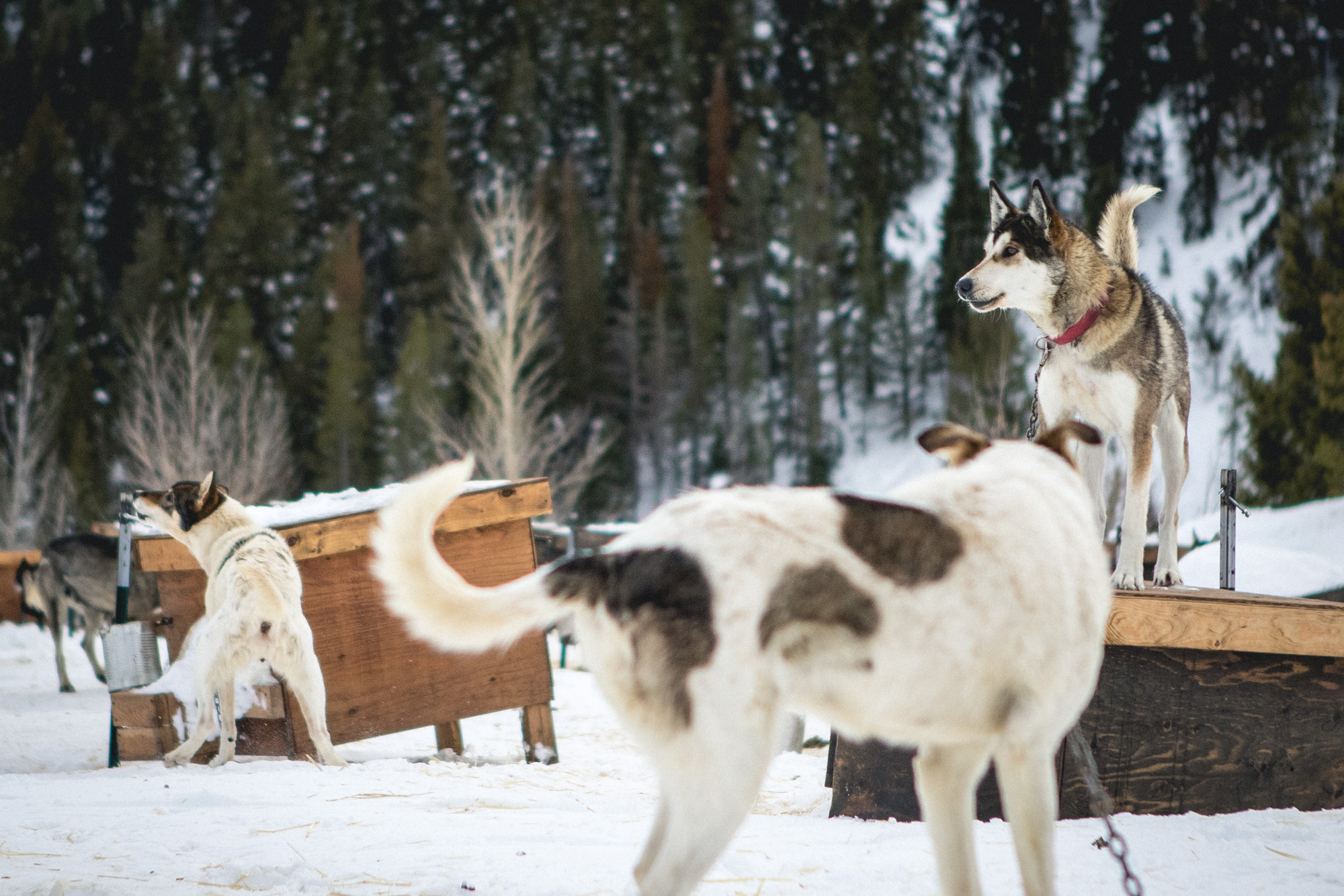 sled dogs resting on wooden crates in Jackson Hole