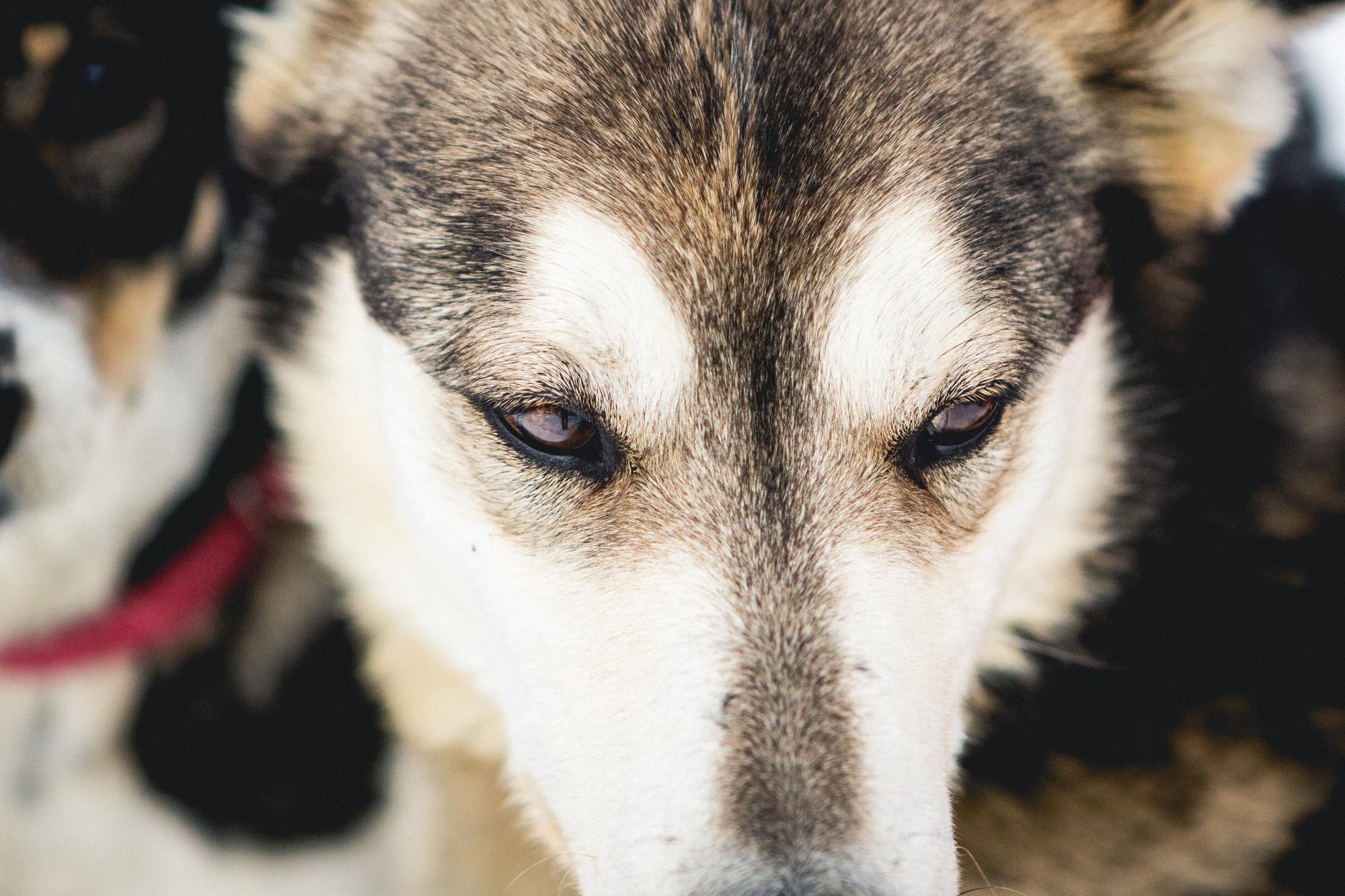 eyes of a sled dog in Jackson Hole