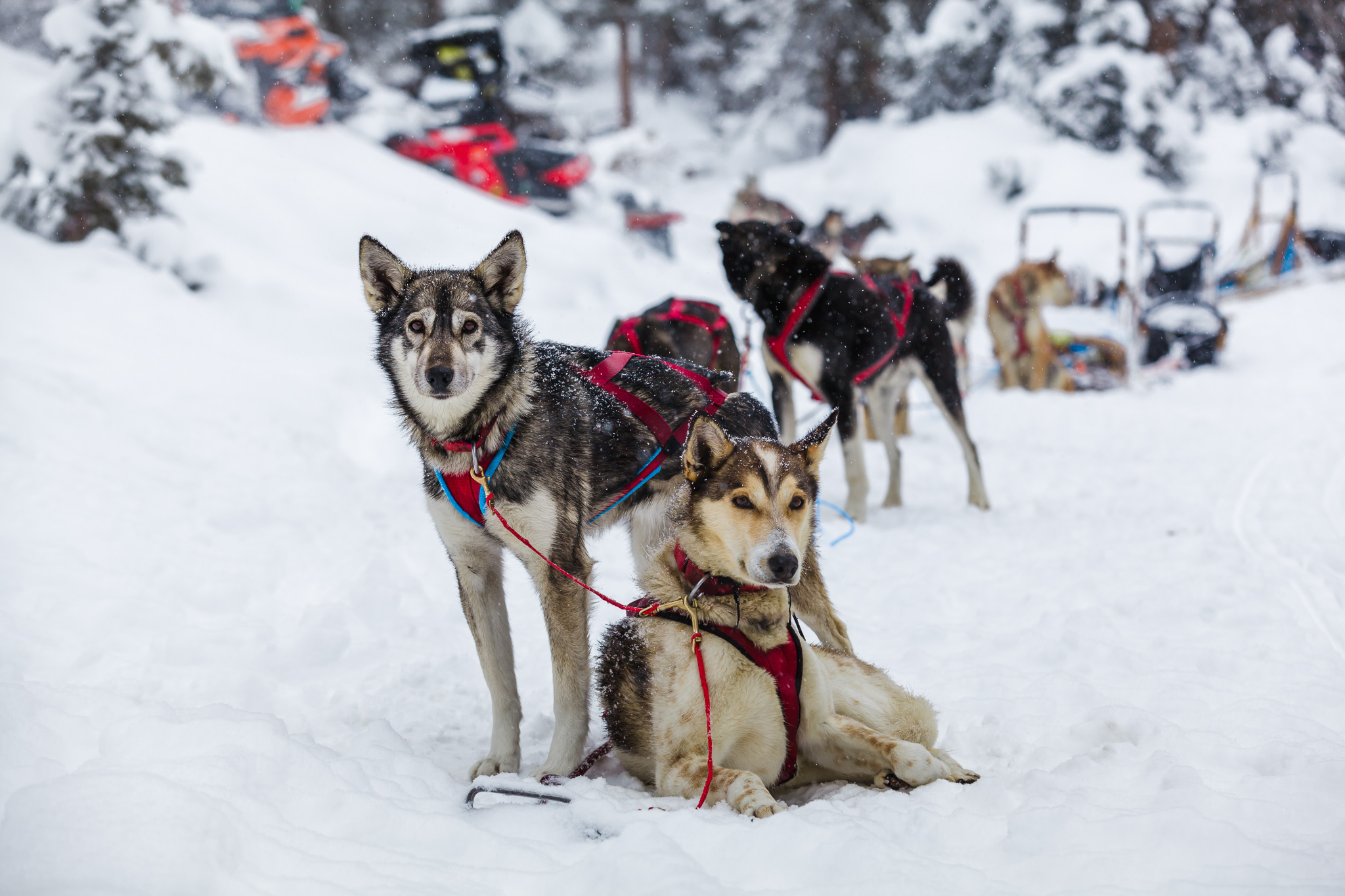 sled dogs in sled gear in Wyoming