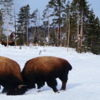Bison roaming in the snow