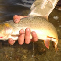 Cutthroat trout1