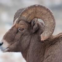 Jh wildlife safaris wildlife Bighorn Sheep