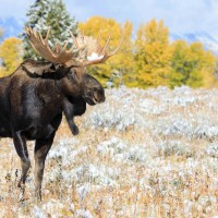 Jh wildlife safaris wildlife Bull Moose