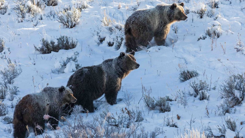 Jh wildlife safaris wildlife Grizzly Bear and cubs