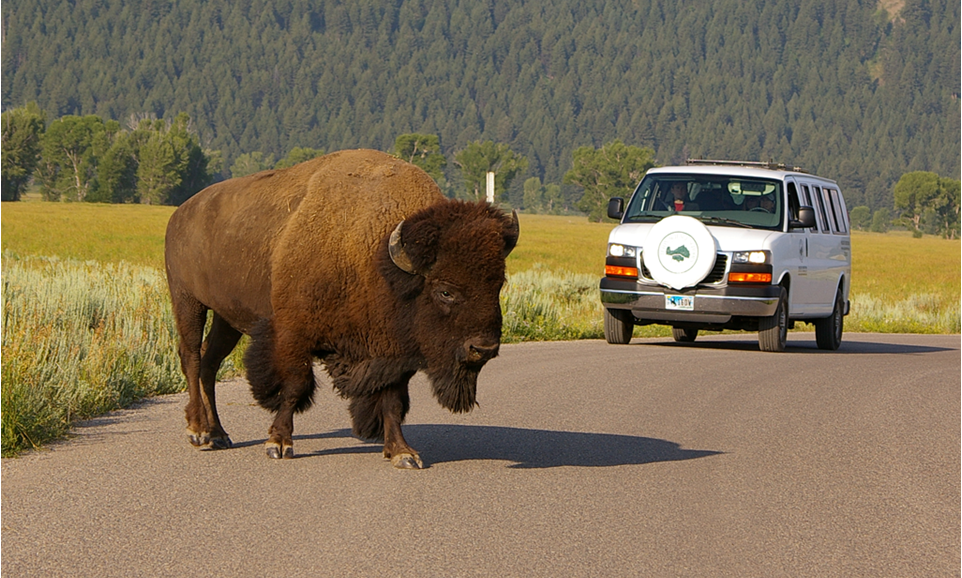 bison on Grand Teton wildlife tour