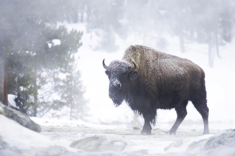 winter bison
