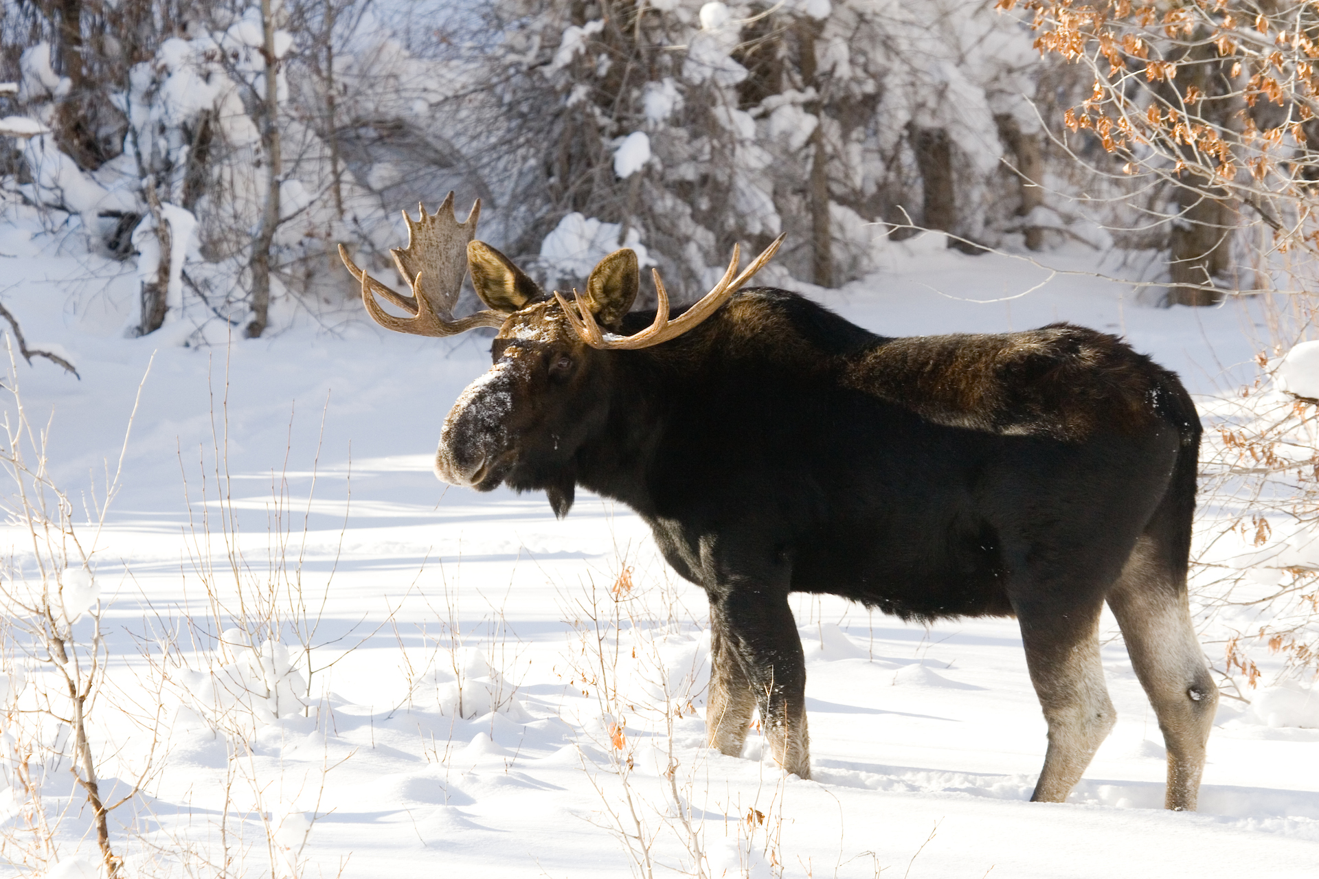 moose winter