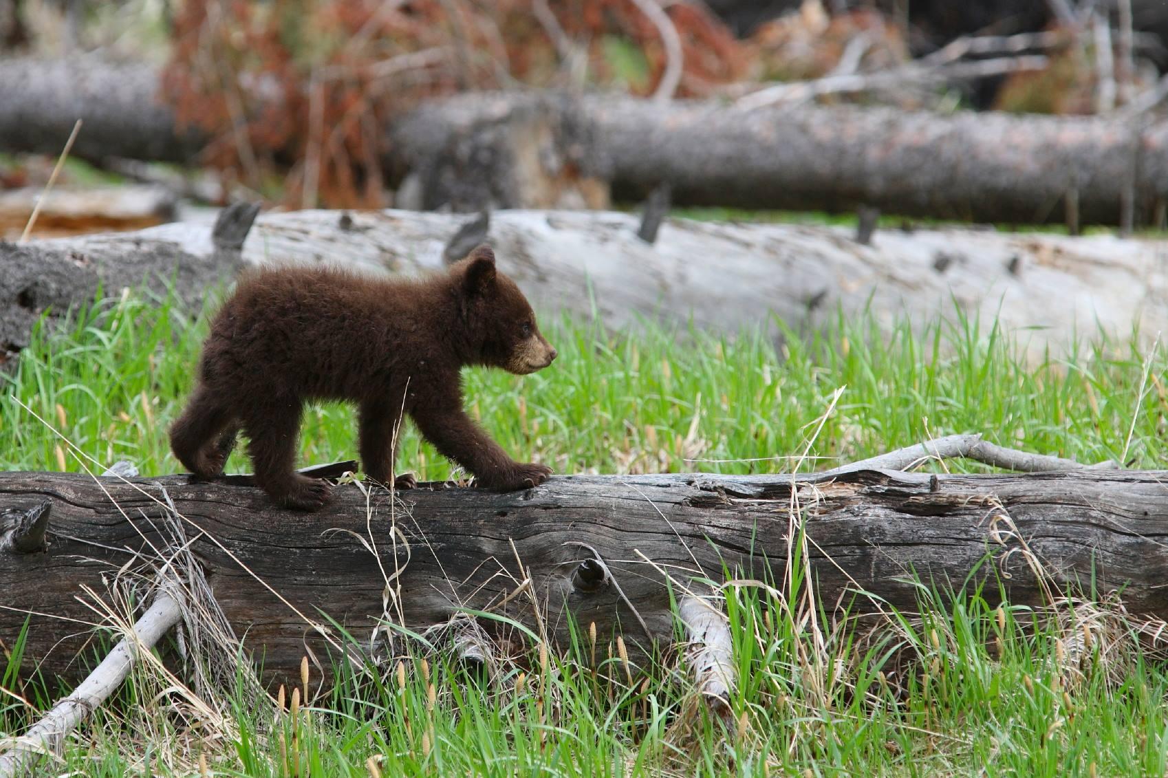 bear cub GTNP