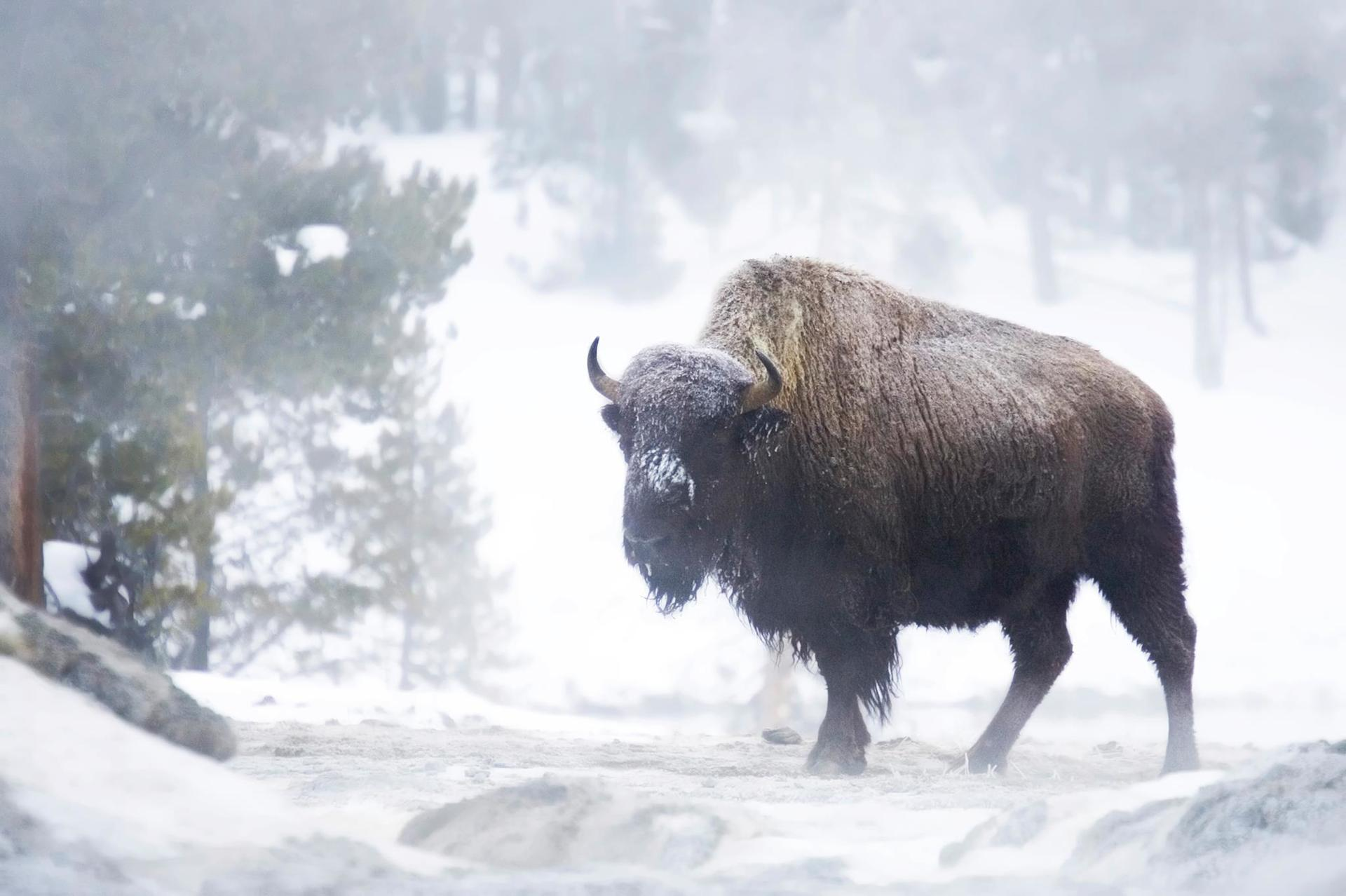 bison and winter wildlife in Yellowstone